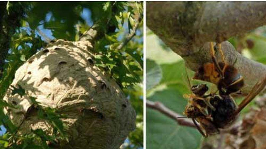 Lần đầu tiên trong lịch sử khoa học chứng kiến loài ong biết dùng công cụ, nhưng họ lại cảm thấy... buồn nôn