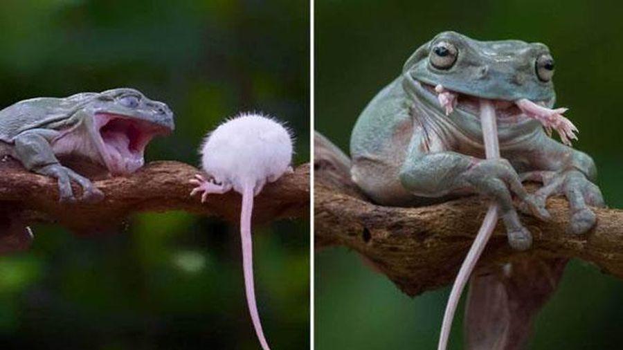 Sởn gai ốc cảnh ếch tham lam nuốt chửng con chuột to ngang ngửa mình