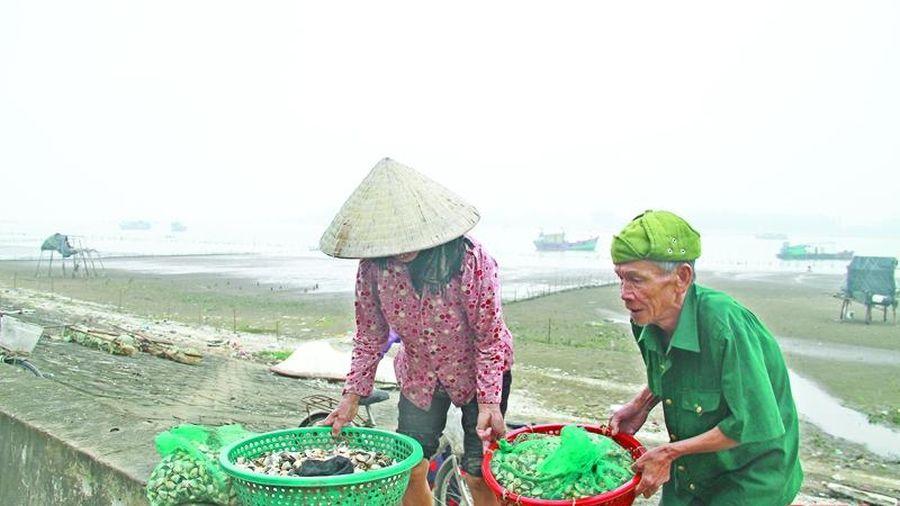 Ngao nuôi chết bất thường tại phường Hải Ninh