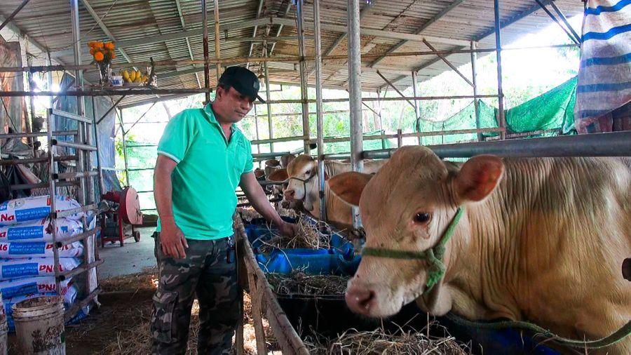 Làm giàu từ mô hình nuôi bò thịt