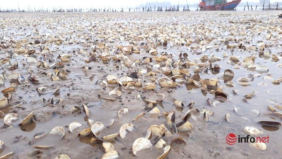 Thanh Hóa: Hàng trăm tấn ngao chết trắng bãi, dân xót của mất ăn mất ngủ