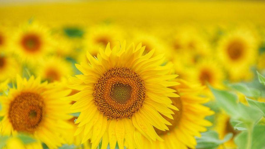 9 bí mật thú vị nhưng ít người biết về hoa hướng dương