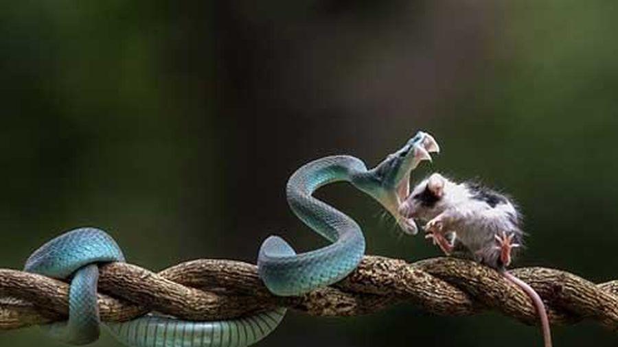 Gặp rắn độc còn tò mò: Trả giá bằng sinh mạng