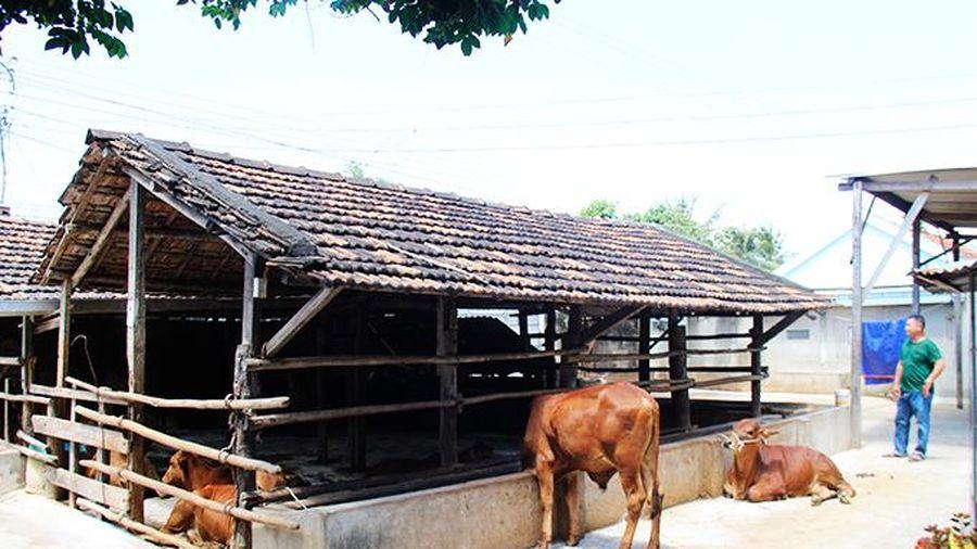 Trại nuôi nhốt bò ở thôn Nghi Phụng, xã Ninh Phụng sẽ di dời ra khỏi khu dân cư