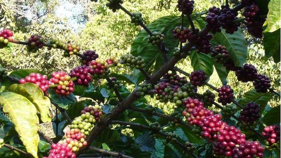 Giá cà phê hôm nay 6/3: Mất gần 100 USD/tấn trong 1 tuần, liệu Robusta đã tìm thấy đáy?