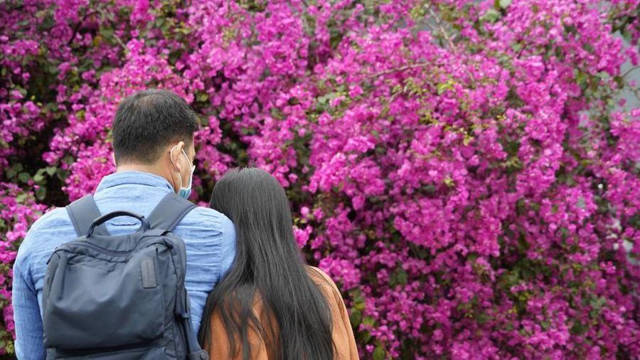 Cây hoa giấy 'hot' nhất Quảng Ninh được giới trẻ săn đón