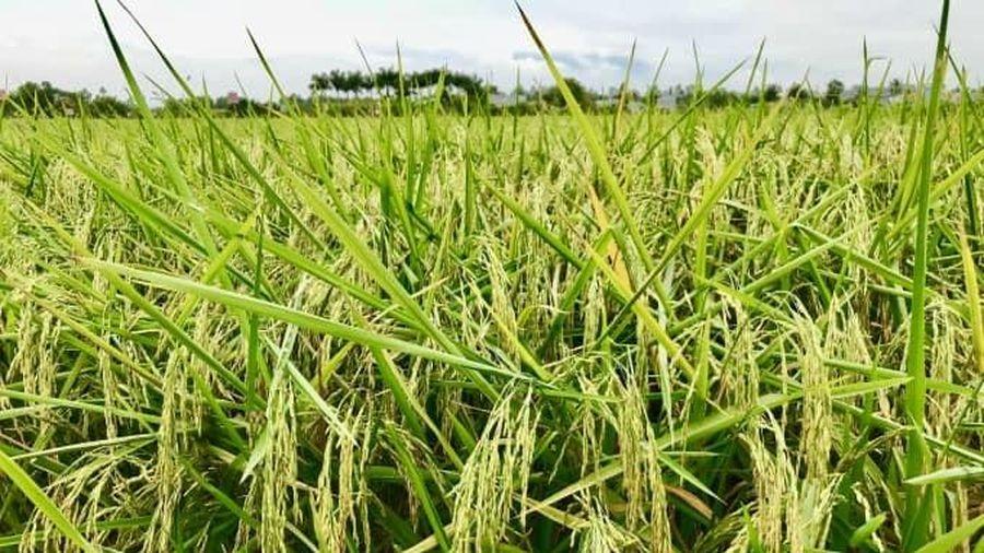 Giá lúa gạo hôm nay 6/3: Giá gạo xuất khẩu bất ngờ giảm 5 USD/tấn