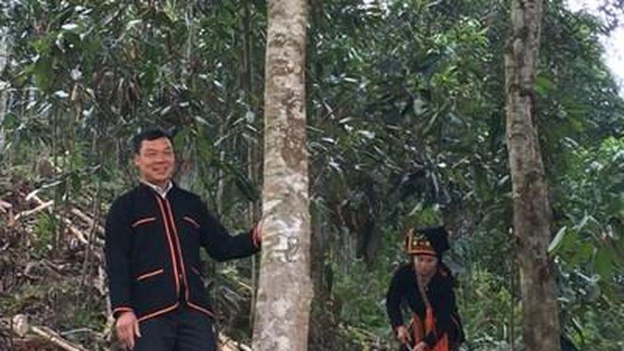 Văn Yên 'cất cánh' nhờ cây quế