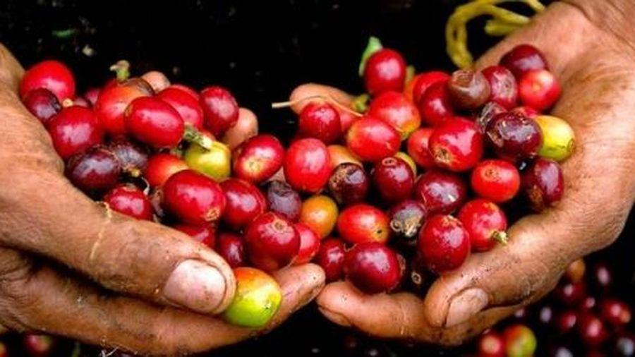 Giá cà phê hôm nay 7/3: Một tuần lao dốc không phanh