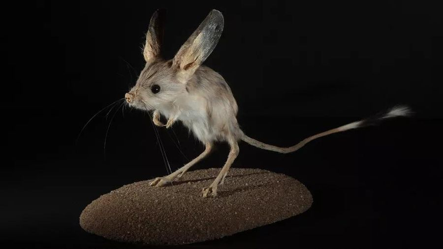 Những loài động vật có đôi tai to nhất thế giới