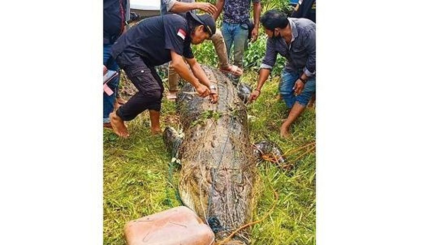 Lạnh người mổ bụng cá sấu khổng lồ phát hiện thi thể bé trai 8 tuổi còn nguyên vẹn