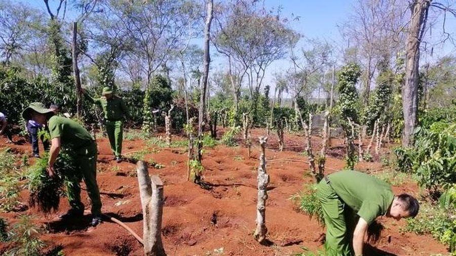 Đắk Lắk: Hai anh em ruột lập 'nông trại' trồng hơn 1.500 cây cần sa trong rẫy vắng