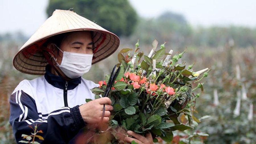Hoa hồng Mê Linh (Hà Nội) 'tất bật' vào vụ thu hoạch phục vụ thị trường ngày 8/3