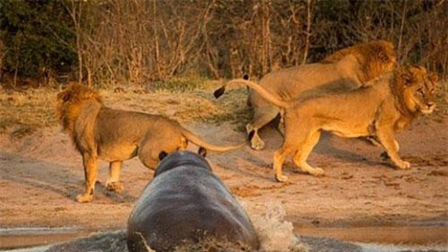 Hà mã nổi điên, ba 'vua sư tử' co giò chạy sớm