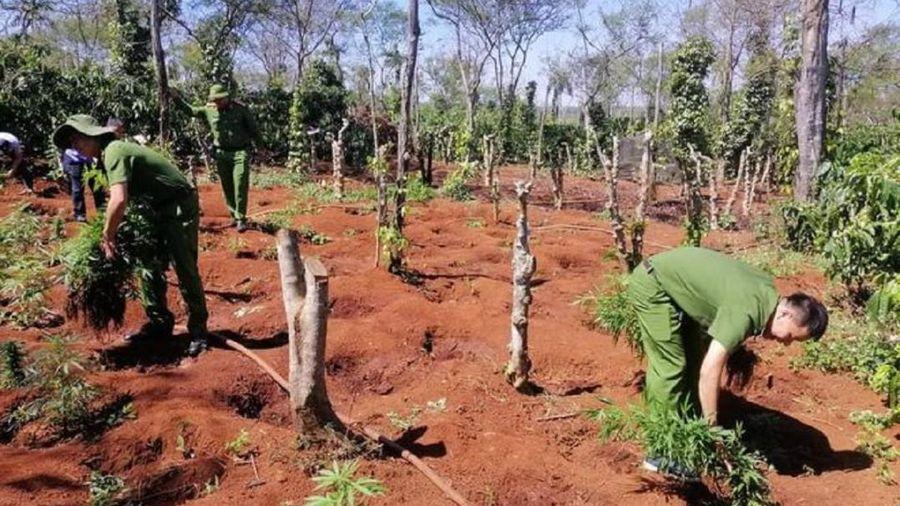 Hai anh em ruột trồng hơn 1500 cây cần sa trong rẫy cà phê