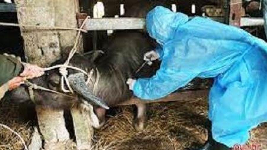 Tập trung chống dịch viêm da nổi cục trên trâu bò