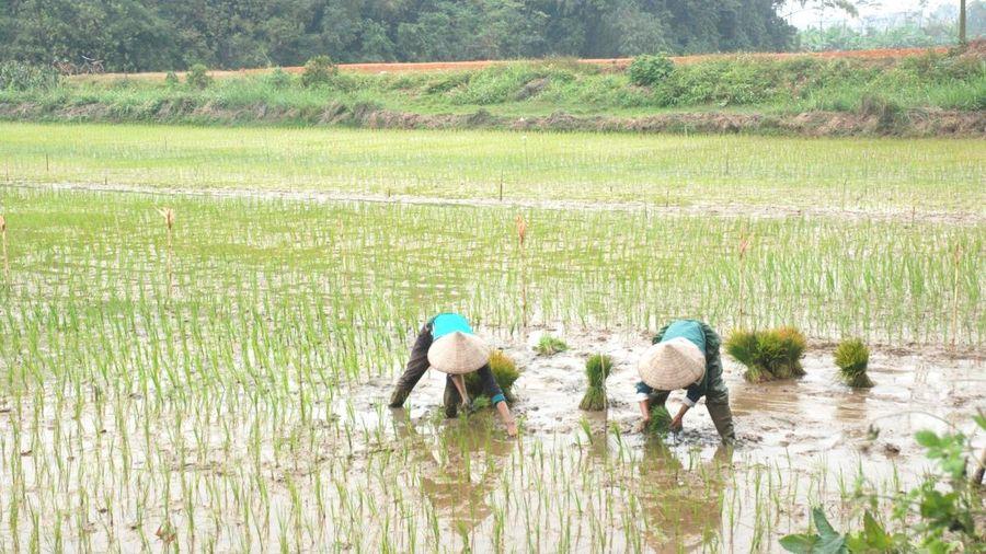 ĐBSCL chỉ xuống giống lúa vụ Hè thu 2021 ở khu vực chủ động nguồn nước