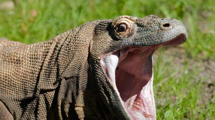 Phát hiện mới về rồng Komodo