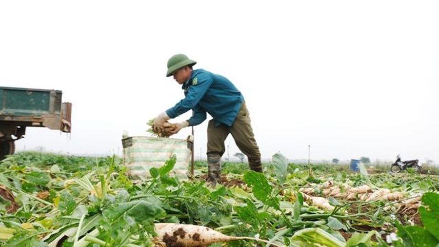 Hỗ trợ tiêu thụ gần 900 tấn củ cải, cà chua cho nông dân huyện Mê Linh