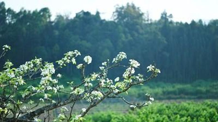 Trắng tinh khôi mùa hoa lê Bắc Hà