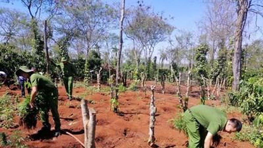 Hai anh em ruột trồng hơn 1.500 cây cần sa trái phép