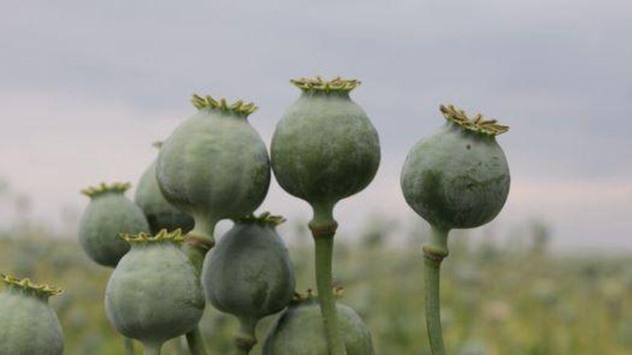 Phát hiện vụ trồng 200 cây thuốc phiện trên nương rẫy ở Mộc Châu