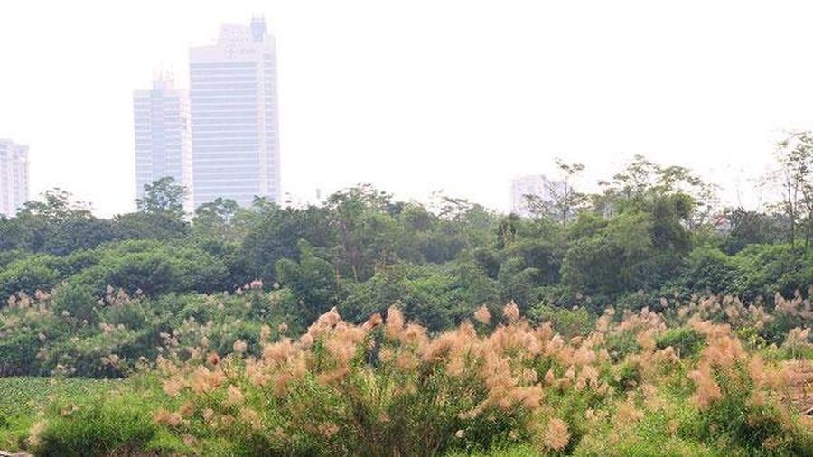 Khám phá 'thiên đường' cỏ lau ngoài bãi giữa sông Hồng