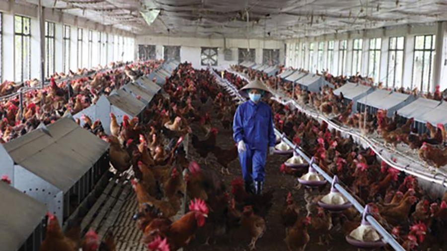 Nỗ lực chuyển giao giống gia cầm chất lượng cao vào sản xuất