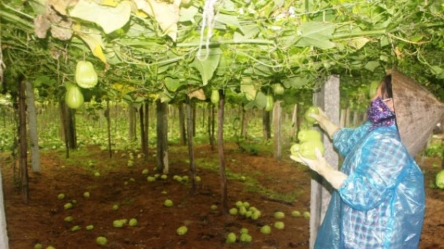 Chung tay giúp người trồng rau Nghệ An tiêu thụ sản phẩm