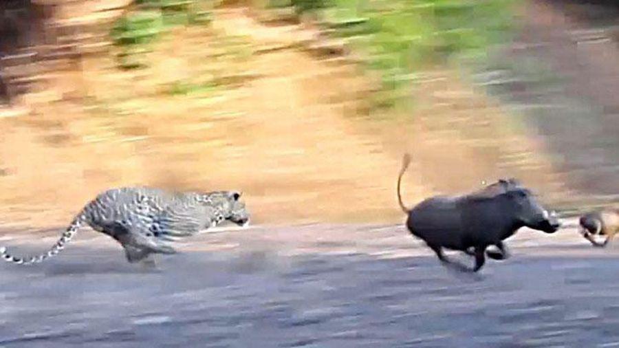 Báo hoa mai thể hiện kỹ năng chạy cực nhanh, truy bắt đàn lợn rừng