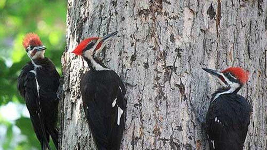 Vì sao chim gõ kiến thích mổ gỗ?