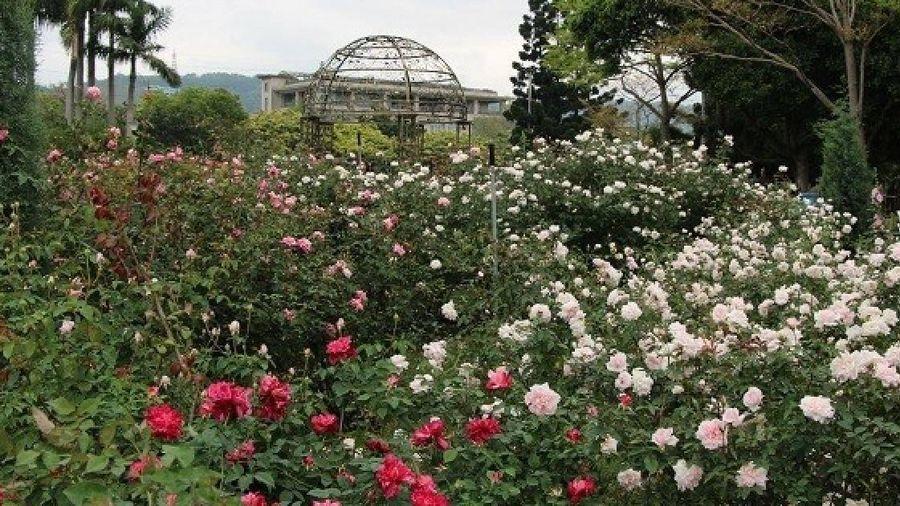 700 giống hoa hồng sẽ khoe sắc trong lễ hội hoa ở Đài Loan