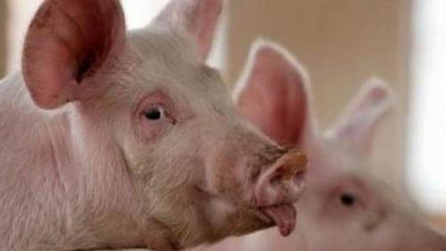 Giá lợn hơi hôm nay 9/3/2021: Tiếp tục giảm nhẹ, nhưng vẫn ổn định ở mức 73.000 - 78.000 đồng/kg