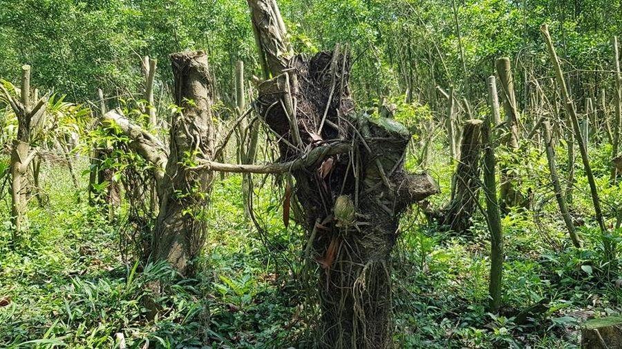 Thừa Thiên – Huế: Xem thường 'lệnh' của địa phương, người dân vẫn ồ ạt trồng cây để chờ đền bù