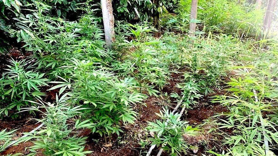 Phát hiện đối tượng trồng hơn 1,3 nghìn cây cần sa trong vườn
