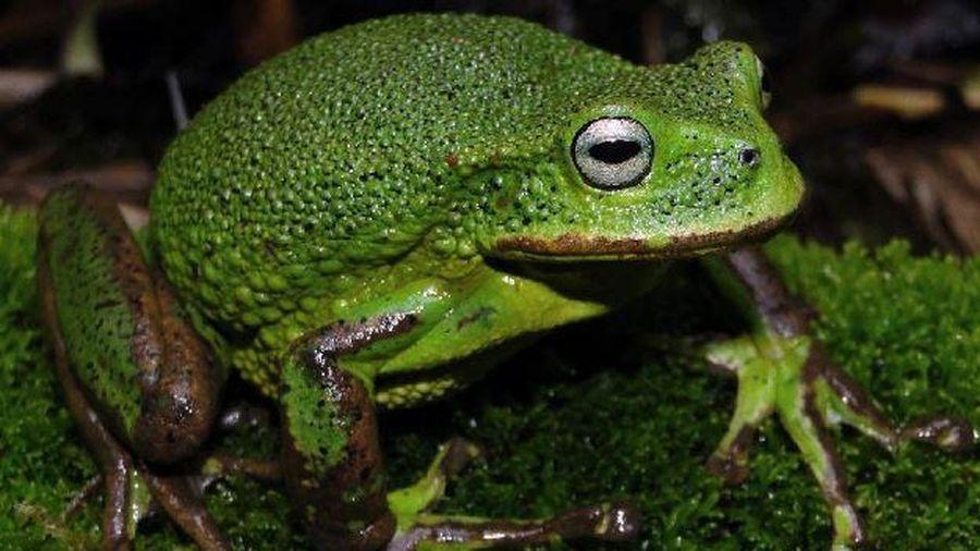 Phát hiện một loài nhái túi mới trong rừng rậm Amazon ở Peru
