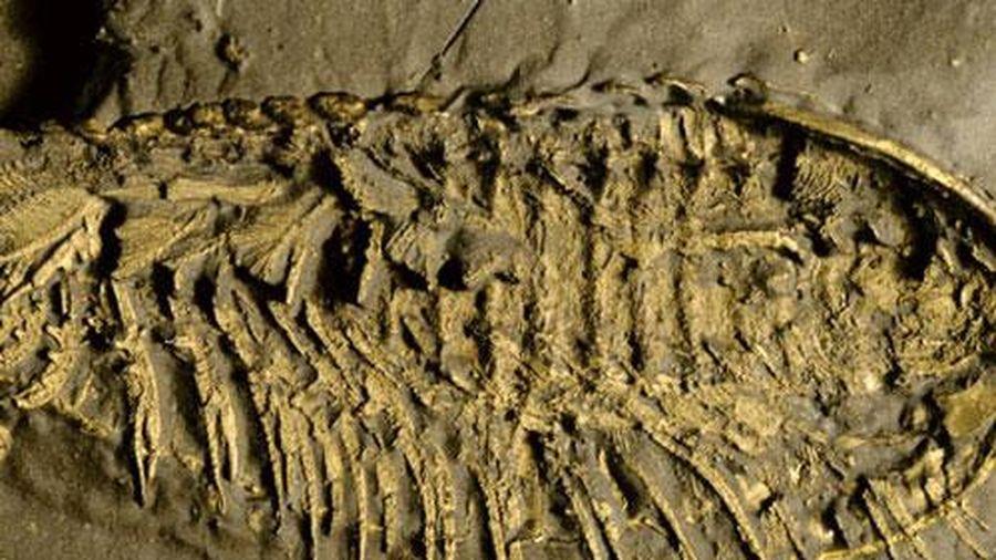 Phát hiện 'quái vật' 500 triệu tuổi thở bằng chân, phủ 'vàng của kẻ ngốc'