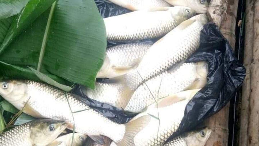 Cẩm Thủy (Thanh Hóa): Xuất hiện cá chết trên sông Mã với số lượng lớn