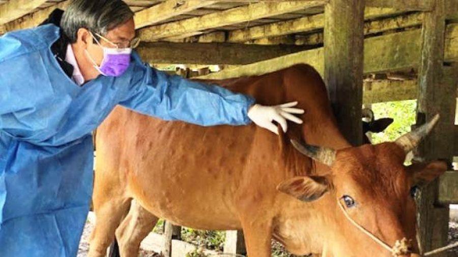 Hà Nội xem xét việc tiêm vaccine phòng bệnh viêm da nổi cục cho toàn bộ trâu, bò