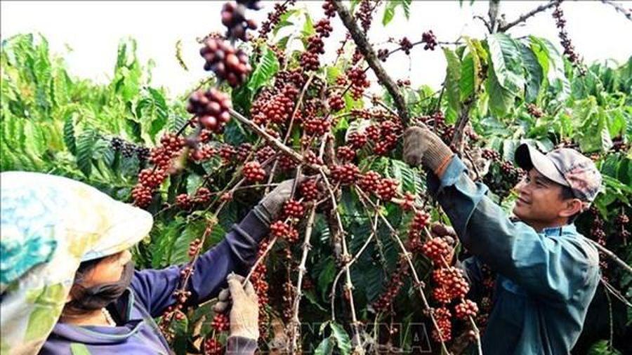 Giá cà phê Việt Nam giao dịch trong khoảng 31.800 - 32.700 đồng/kg