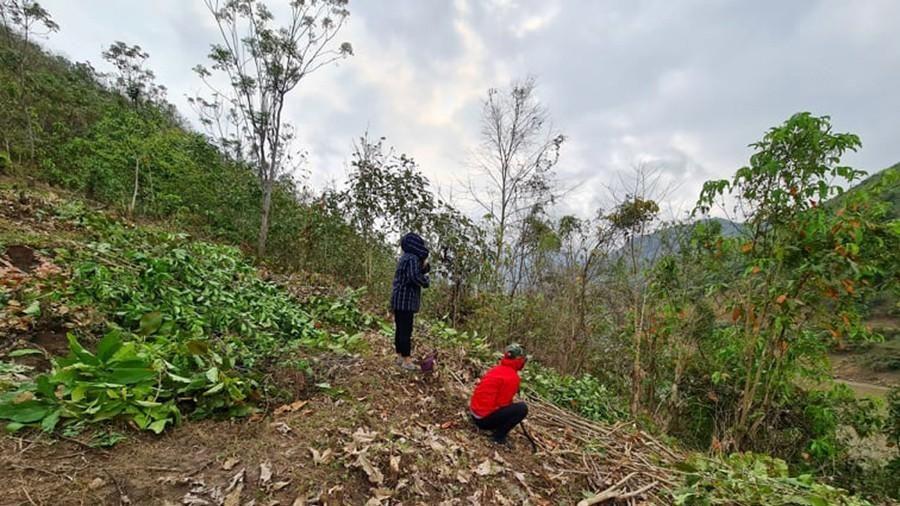 Tan 'giấc mơ' cây xoan Mường Lát: dân biết trồng cây gì?