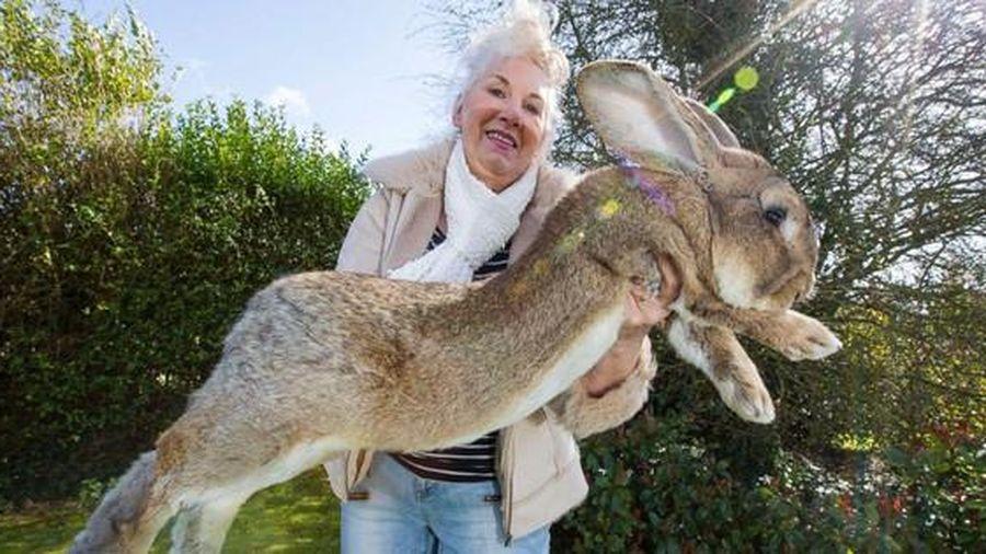 Chú thỏ khủng nhất hành tinh cao bằng trẻ 8 tuổi mất tích, có thể bị đánh cắp