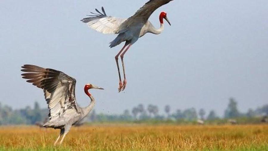Sếu đầu đỏ trở về Vườn Quốc gia Tràm Chim