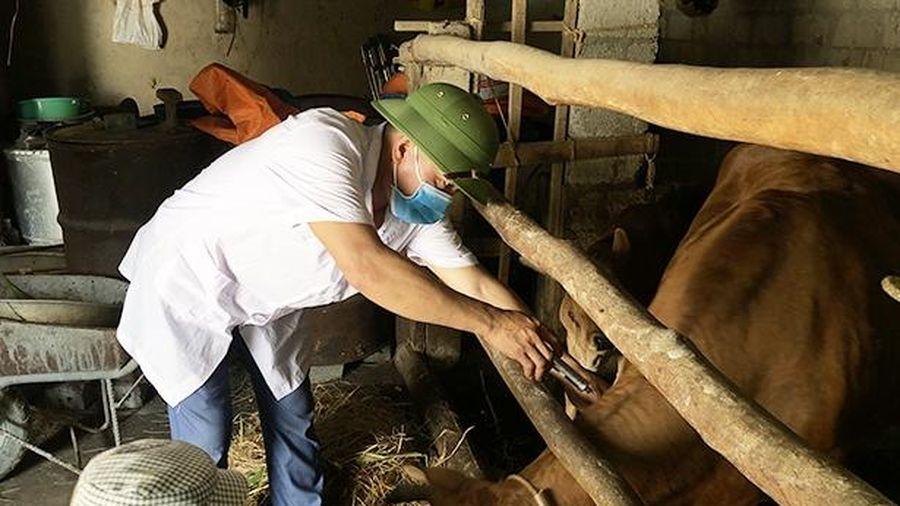Hơn 115 nghìn con trâu, bò tại Hà Tĩnh được tiêm phòng vắc-xin viêm da nổi cục