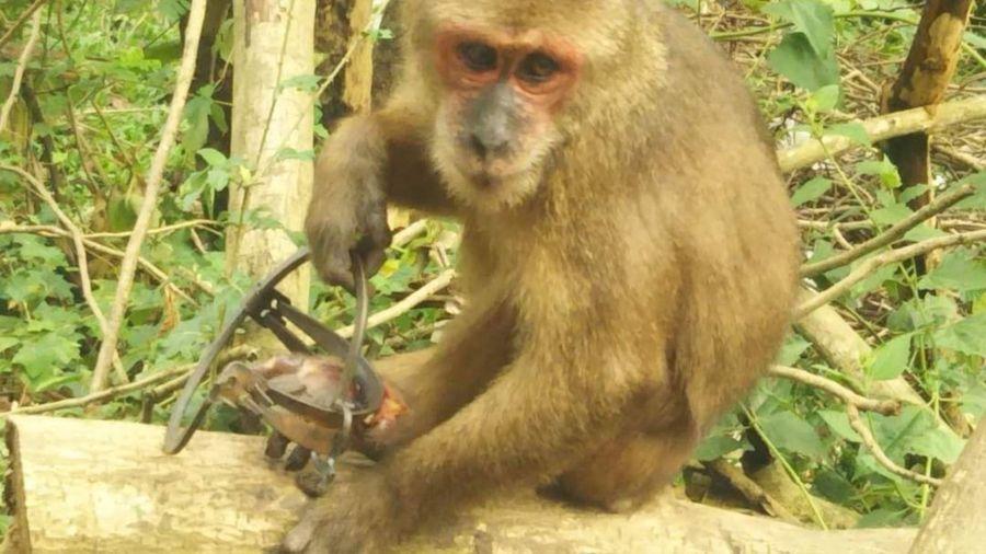 Chưa bắt được khỉ mặt đỏ dính bẫy trên núi Sơn Trà để chữa trị vết thương
