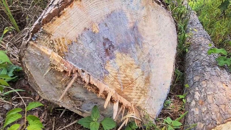 Nhiều cây thông trăm tuổi ở trung tâm Đà Lạt bị cưa hạ