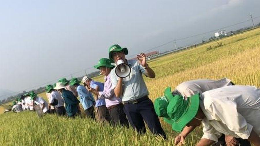 'Gạo ngon, năng suất khủng' - Kỳ tích Đài Thơm 8 trên đất miền Trung