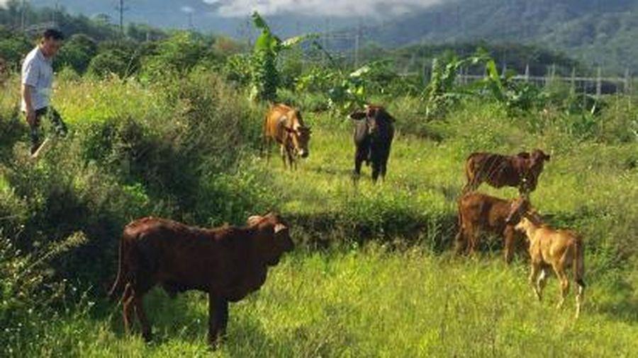 Bệnh viêm da nổi cục lây lan do người dân mua trâu bò không kiểm dịch