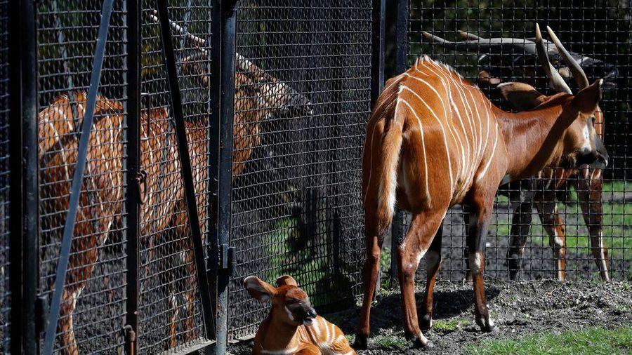 Linh dương núi cực kỳ nguy cấp được sinh ra tại vườn thú Ba Lan