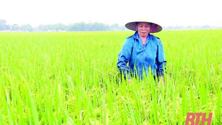 Phát triển vùng lúa thâm canh năng suất, chất lượng cao